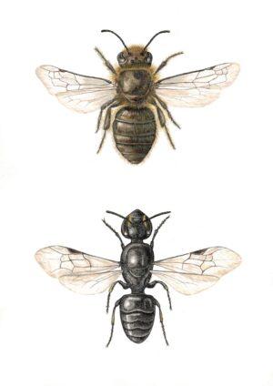 Viktoria Zink, Colletinae: Colletes cunicularius (Seidenbiene) und Hylaeus communis (Hylaeus), 2021, © Viktoria Zink